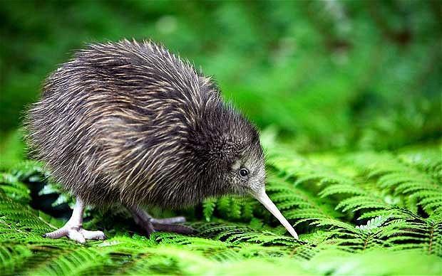 kiwi-alamy620_1803848b.jpg